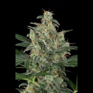 Cheese Autoflowering cannabis seeds