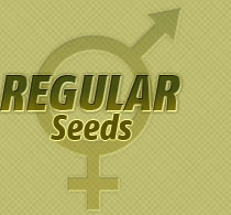 regular cannabis seed
